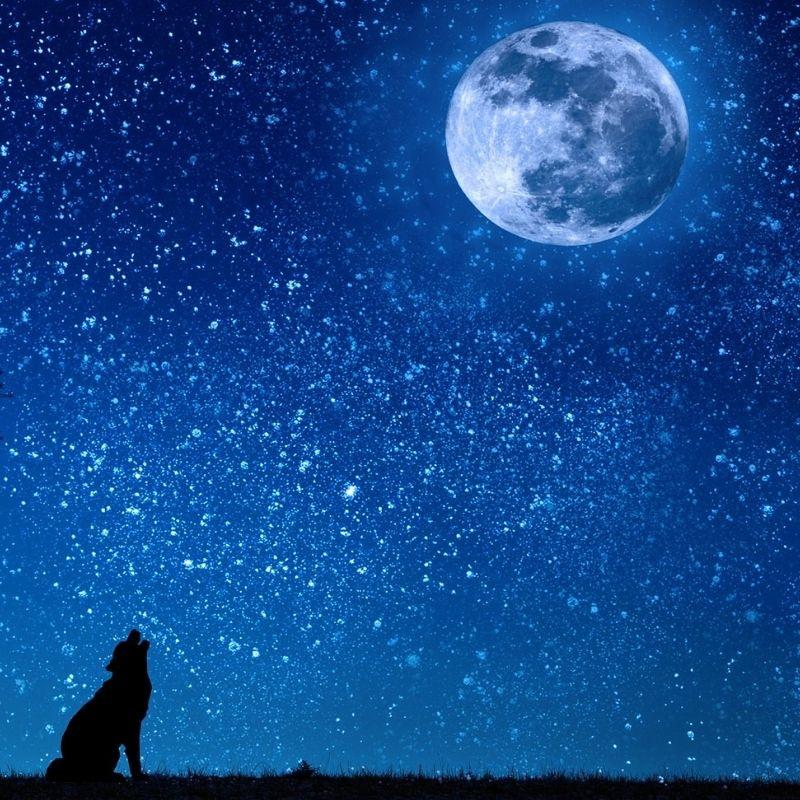 Ulv hyler mod månen
